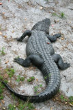 Alligator. From the Okefenokee swamp Stock Images