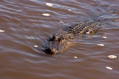 Approaching Alligator. Alligator swimming in the Florida Everglades Stock Photos