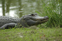 Alligator Images stock