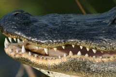 Alligator Image stock