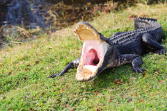 Free Alligator Royalty Free Stock Photos - 12401548