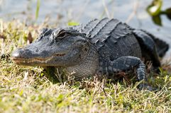 Free Alligator Stock Photo - 12561570