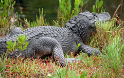 Alligator Royalty Free Stock Images