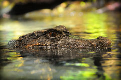 Alligator Images libres de droits