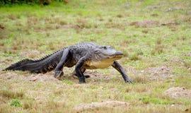 Alligator Image libre de droits