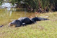 alligator royaltyfri bild