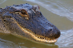 Alligator. American alligator head shot in water with mouth slightly open Royalty Free Stock Images