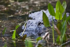 Alligator Photos libres de droits