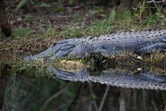 Alligator Royalty Free Stock Images