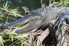 Alligator Royalty-vrije Stock Fotografie