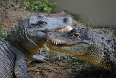 Alligator Royalty Free Stock Image