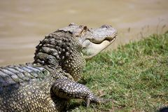 Alligator. This large alligator lurks near the water's edge stock photography