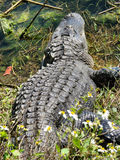 alligator Royaltyfri Bild