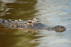 Alligator. An american alligator swims in a pond in florida Royalty Free Stock Photography