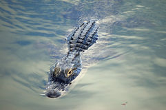 Alligator. An american alligator swims in a pond in florida royalty free stock photo