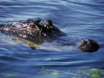 alligator Royaltyfri Fotografi
