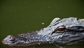 Alligator. In the swamps of Hilton Head, South Carolina royalty free stock image