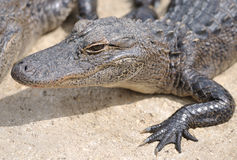 Alligator. Closeup of alligator's showing details of its head, snout and webbed feet Stock Image