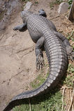 Alligator royaltyfria foton
