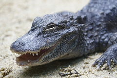 Alligator 2 Royaltyfri Bild