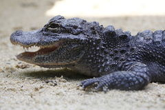 Alligator 1 Stock Foto