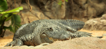 Free Alligator Royalty Free Stock Images - 30997109