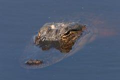 Alligator Stockbild