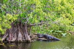Alligator Royaltyfri Foto