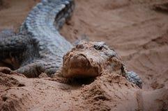 Alligator Photos libres de droits