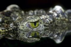 Alligator. Crocodile eye Stock Images