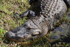 Alligator 2 Arkivbild