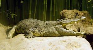 Alligator Stockfotografie