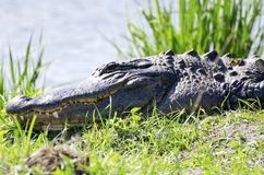 Alligator Stock Foto