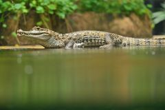 Alligator Photos stock