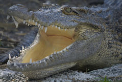alligator Royaltyfri Foto