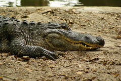 Alligator Stockbilder