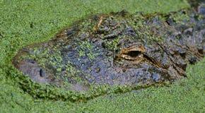 Alligator Images stock