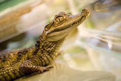 Alligator. Big exotic lizard in aquarium Stock Photography