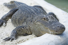Alligator Royalty Free Stock Photo