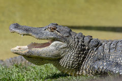 Alligator Photo stock