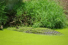 Alligator. Camouflaged by duckweed (water lentils) in a swamp Stock Image