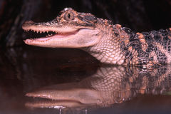 Alligator. Young American alligator with reflection Stock Photography