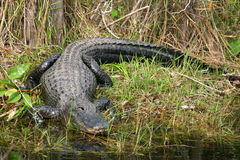 alligator Arkivfoton
