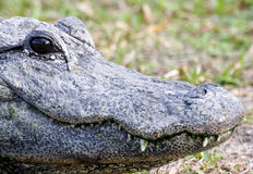 Alligator 6 Royalty Free Stock Photos