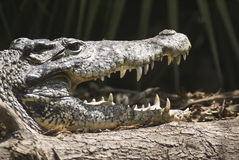 Alligator. Captured with it's mouth open and showing off it's teeth stock photos