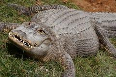 Alligator. stock afbeeldingen