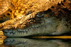alligator arkivfoto