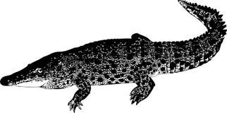 Alligator Royalty-vrije Stock Foto