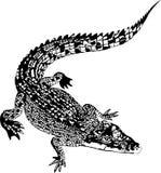 Alligator Royalty-vrije Stock Afbeeldingen