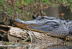 Alligator. Photograph of a large alligator basking on a fallen log stock photos
